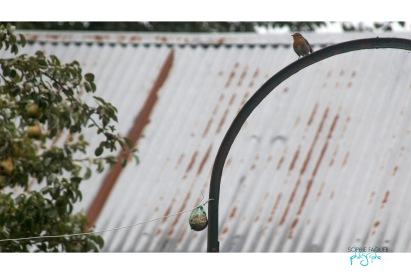 oiseau-sfaguer